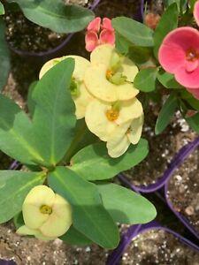 Corona de Cristo Crown of thorns plant orange candle