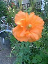 1 medium double orange poppy plant,(,orange feathers)hardy perennial.