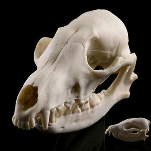 1pcs Animal Skull Red Fox Skull Taxidermy Education Collection Decoration Gift