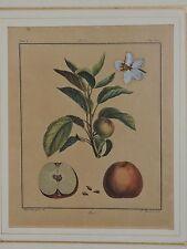 "DUHAMEL DU MONCEAU 1768 ""ANIS"" APPLE HAND-COLORED PLATE/PRINT PARIS - FRAMED"