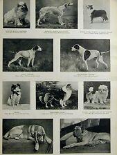 Show Dogs BLENHEIM WOLF HOUND COLLIE POINTER TOYS MASTIFF 1894 Art Print Matted