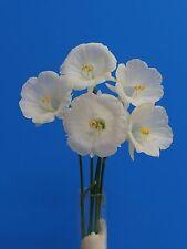 New listing Original Narcissus bulbocodium cv. 'Komos New Year Lady'- 1 of Narcissus bulb