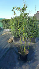 Bambus fargesia robusta Campbell  C10 ca. 140 cm  Hecke