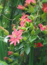 Passion Flower Seeds - RED - Racemosa Passiflora - Evergreen Climber -10 Seeds