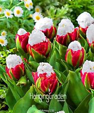 100PCS/Bag Cabbage Rare tulip seeds. Very rare flower seeds garden bonsai potted