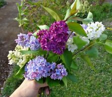 New listing Lilac Flower seeds. 100 seeds. mixed colors.