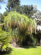 NOLINA BEAUCARNEA RECURVATA vaso pot Ø 14 cm pianta Succulenta Succulent Plant