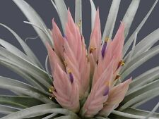 Tillandsia Carlsoniae ~ Air Plant ~ Bromeliad ~ Rare ~ Easy Growing ~ 5 Seeds ~