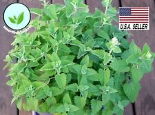 Catnip Catmint - 1,000 Seeds - Heirloom NON-GMO Herb Healthy Meow! USA !