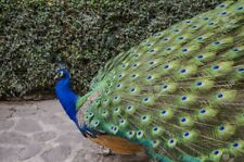 2 Indian Blue Peacock Hatching Egg - FERTILE
