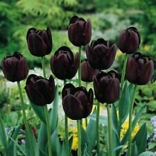 50Pcs Black-Purple Tulip Seeds Root Flowers Balcony Perennial Garden Plant