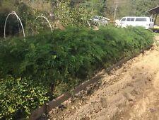 1 mimosa tree(Albizia julibrissin) 2 feet tall-$5.99