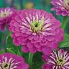 Zinnie lila Samen Blumensamen