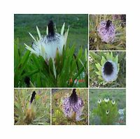 Protea Longifolia * Stunning Long-leaf Black Sugarbush * Very Rare * 3 Seeds