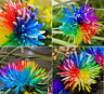 Rainbow Chrysanthemum Flower Seeds Rare Color Home Garden Dyeing Plant UK STOCK