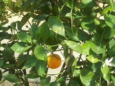 100% Naturreines Ätherisches ORANGENÖL süß,(Citrus sinensis), Brasilien,10 ml