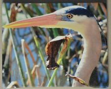 """Great Blue Heron Portrait"""" Signed and Numbered Limited Edition 10""""x8"""" Photograph"""