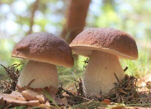 Mycélium de Cèpes - Kit de culture Champignons - grow mushrooms kit