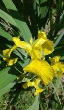 3 Live Yellow Flag Iris Bog plants~Hardy home grown~Connecticut Watergarden pond
