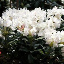 Rhododendron-Hybride 'Cunningham's White' 4 L Topf gewachsen ca. 50cm