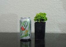 "Adorable Dwarf cypress ""Butterball"" for mame shohin bonsai multiple list"