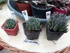 1 Aloe  Aristata à  choisir