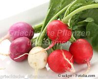 🔥 🥗 bunte Radieschen zarte Radies pink*rot*weiß * 50 Samen Salat
