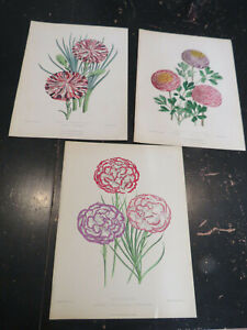 Carnations, Botanicals - New Series, Floral Magazine New Series 3 plates
