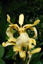Plants- Iris foetidissima var citrina