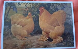 Modern Hen Postcard. Reproduction. 2 Buff Cochins. Published 2004. Chrome.