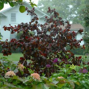 Purple Cork Screw Hazel-Corylus avellana Red Majestic Plant in 1.5 L Pot