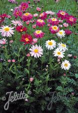 6 TANACETUM 'SUPER DUPLEX' 'PAINTED DAISY' (Pyrethrum) MEDIUM  PLUG PLANTS - HP