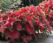"(100) Perennials ""Fancy Mix Caladiums"" Small Bulbs Ready to Ship"