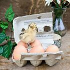 k7 Taxidermy Oddities Curiosities Real Chick Eggs Carton Display collectible