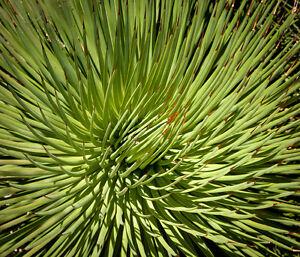 NANA-Agave - sieht extrem gut aus mit ihren langen schmalen Blättern.