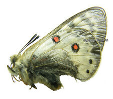 Unmounted Butterfly/Papilionidae - Parnassius staudingeri illustris, male