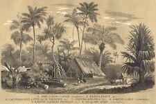 TREES. Arec Calyce; Baquois; Kentia Élevé; Calyptrocalix; Cocotier 1852 print