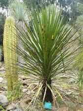 "Yucca mixtecana ""Oaxaca Puebla Yucca"" Rare! Hardy to 10F - 10 seeds"