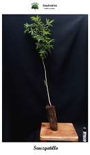Planta de Sauzgatillo - Vitex agnus castus - 2 Años