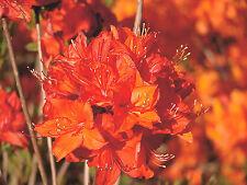 Gartenazalee Parkfeuer Rhododendron luteum 30-40cm Frühlingsblüher