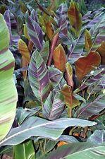 Musa sikkimensis Bengal Tiger VARIEGATED HARDY BANANA Exotic Seeds!