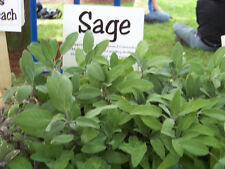 sage, Perennial culinary Herb, 28 Seeds, GroCo Seeds!