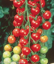SWEETIE TOMATO 50+ seeds Organic Sugar sweet vigorous plants Cherry size NON-GMO