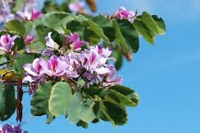 beautiful ! Geranium Orchid Tree Bauhinia purpurea perfect 4 bonsai Wow !
