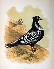 """Fancy Pigeon """" The Suabian """" By James C. Lyell Poster Art 13"""" X 19"""""""