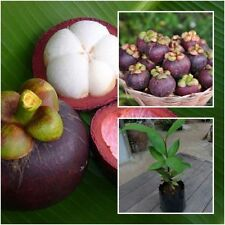 "Mangosteen Tree Plant ""Mangkhud"" Tall 18"" Delicious Sweet Fruit From Thailand"