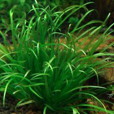 Blyxa Japonica Bunch Japan Freshwater Apf® Live Aquarium Plants Buy2Get1Free*