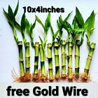 10 Lucky Bamboo Live Plants 4 inches Free Gold Wire, Gift, Feng Shui