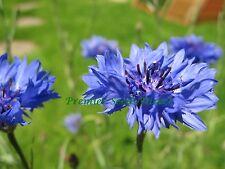 FLOWER CORNFLOWER CENTAUREA CYANUS BLUE BOY 800 FINEST SEEDS