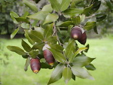 "HOLM OAK ""Quercus ilex"" bulk 50 Seeds  ( acorns )"